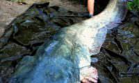 rießenfisch auf der abhakmatte im angelcamp taffi tackle tours