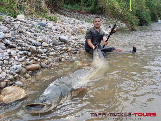 Wallerangeln mit der Spinnrute in mequinenza bei taffi tackle tours