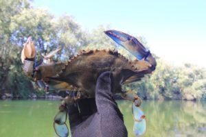 blau krabbe unser ständiger begleiter auf der drifttour bei taffi tackle tours